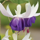 How to grow fuchsias