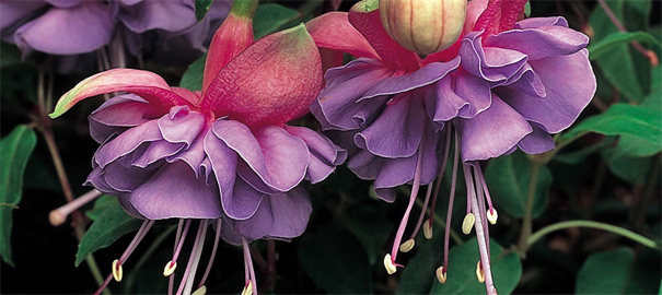 Top 10 Fuchsia Plants
