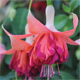 It takes two – Fuchsia planting partners