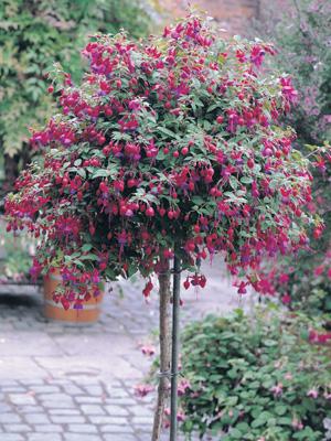growing fuchsia standard
