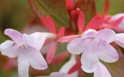 Plants for fragrance