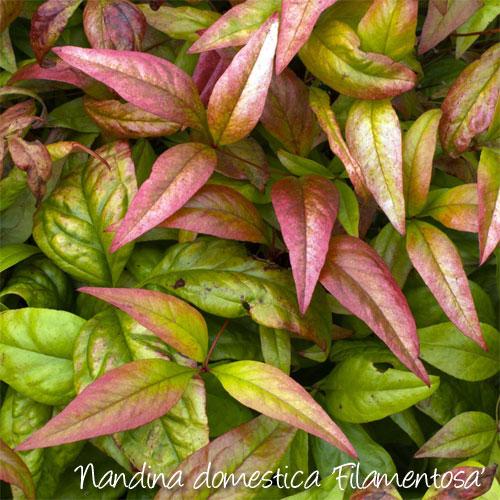 companion planting fuchsias
