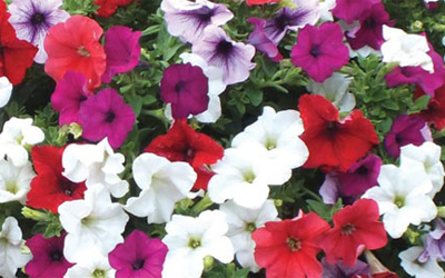 Petunias – proven performers