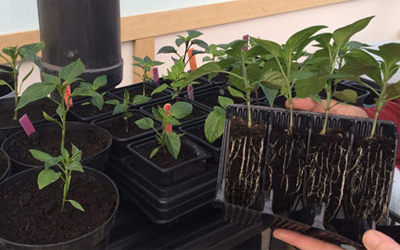 Potting on chillies