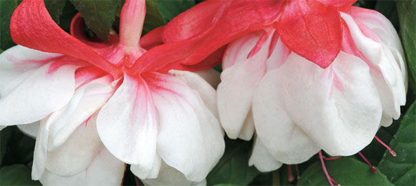 Growing a Standard Fuchsia – by Carol