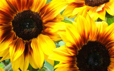 Year of the sunflower 2015
