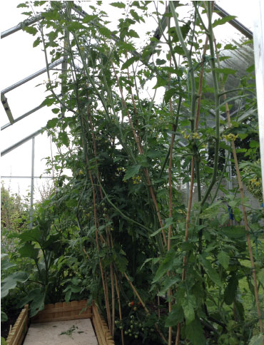 greenhouse-tomatoes
