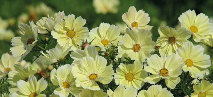 Cosmos 'Xanthos' - Flower of the Year 2016