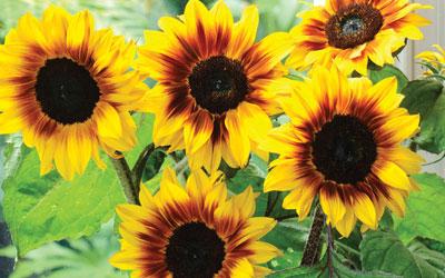 Thompson & Morgan awards record-breaking £1,000 for tallest sunflower