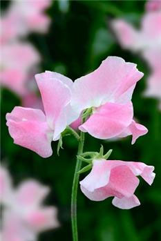 Thompson & Morgan Sweet Pea 'Eleanore Udall'