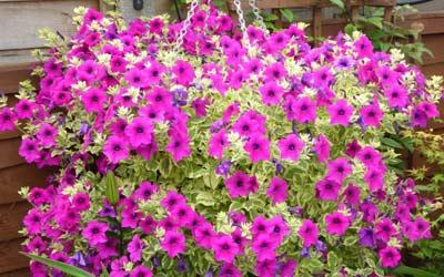 My love of petunias