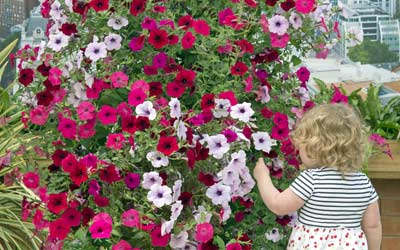 Petunias Take Centre Stage