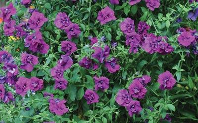 Growing petunias