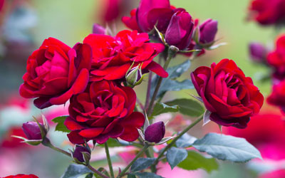 Roses for Valentine's Day – What is your favourite?