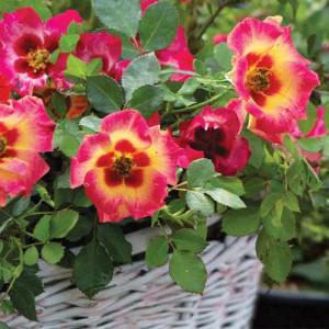 Rose 'Sweet Spot Calypso'
