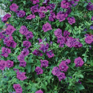 Petunia 'Purple Rocket'