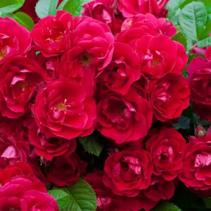Rose 'Red Fairy'