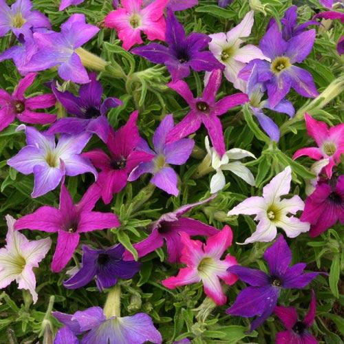 Petunia x hybridia 'Sparklers'