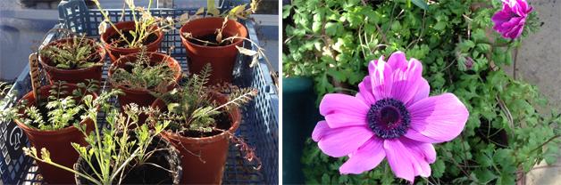 Amanda's remaining plants