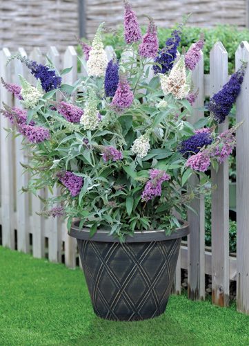 Buddleja Buzz™ 3 in 1