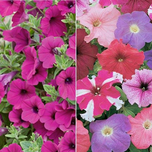 Petunia 'Purple Wave' and Petunia 'Rainbow'