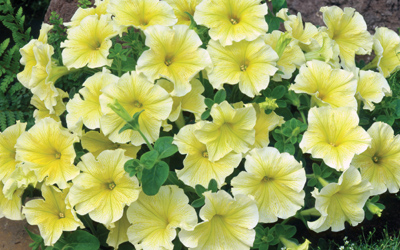 The history of the petunia