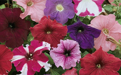 Growing petunias from seed