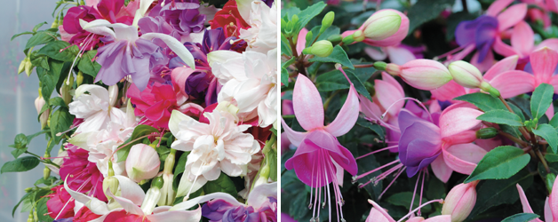 Fuchsia Giant Collection & Fuchsia 'Bella Collection'