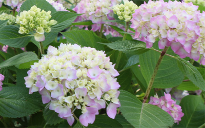 Hydrangeas – Michael Perry picks his favourites!