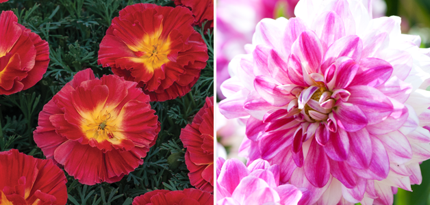 Californian Poppy 'Cherry Swirl' & Dahlia 'Bonita'