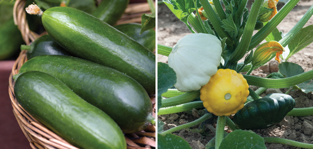 Cucumber 'Curino' & Squash 'Patty Pan'