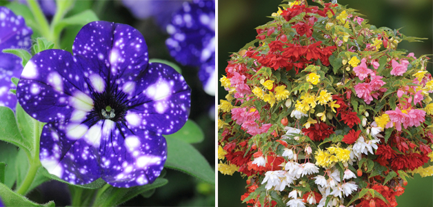 Petunia 'Night Sky' & Begonia 'Illumination Mixed'