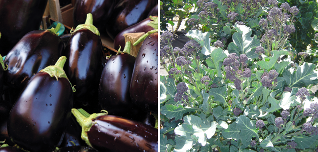 Aubergine 'Bonica' & Broccoli 'Red Fire' F1 Hybrid