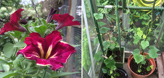 Petunia 'Mandevilla' & Cucamelons on the go!