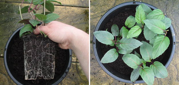 Teasing out Roots of Fuchsia FUCHSIABERRY & Planted Up Fuchsia FUCHSIABERRY
