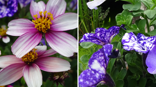 Unnamed bidens & Petunia 'Night Sky'