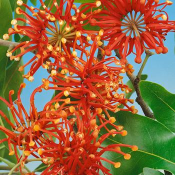 Stenocarpus sinuata