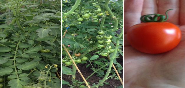Amanda's Tomato 'Magic Mountain' in different stages of growth