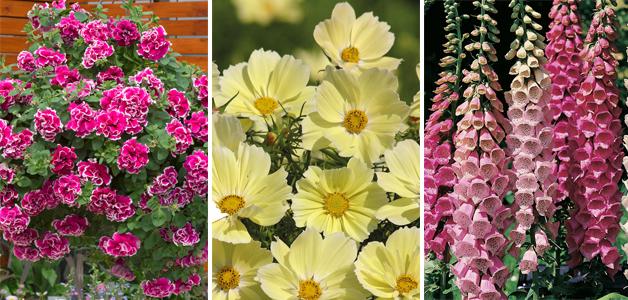 Petunia 'Anna', Cosmos 'Xanthos' & Hollyhock 'Excelsior Hybrid Mixed'