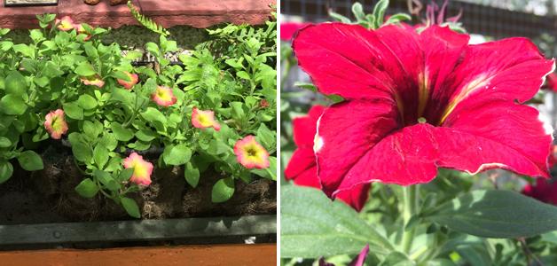 Petunia 'Cremissimo' & Petunia 'Mandevilla'