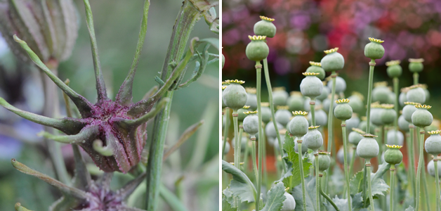 Nigella 'Delft Blue' Seed Head and Poppy Seed Heads