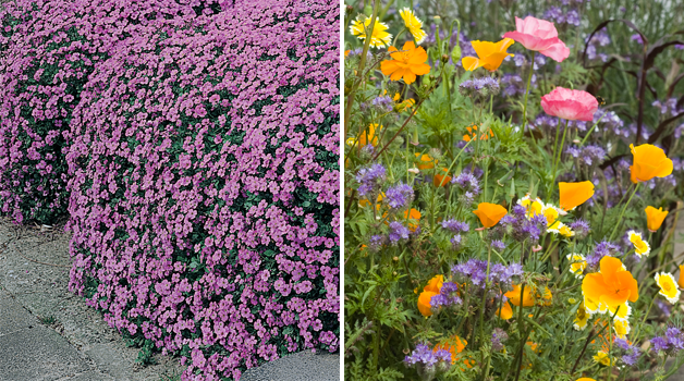 Aubretia 'Cascade Purple' & Wildflower 'Honey-bee Flower Mixed'