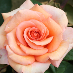 Scented Celebration Rose 'Warm Wishes' - Christmas Gift