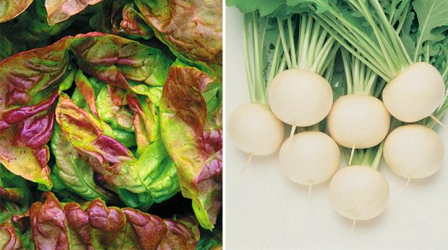 Lettuce 'Yugoslavian Red' & Turnip 'Oasis'
