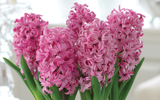 Say Happy Christmas with Hyacinths