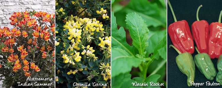 coronilla citrina, wasabi rocket, pepper padron and scabious kudos