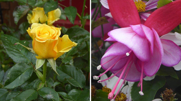 Rose 'Golden Wedding' & unnamed fuchsia trialled