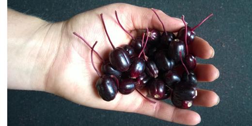 fuchsia berries