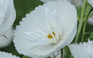 Cosmos are still all the rage in 2017
